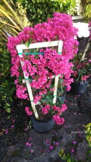 BOUGAINVILLEA!HIBISCUS!PRIVACY PLANTS MEGA SALE