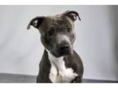 Adopt MALCOM a American Staffordshire Terrier, Mixed Breed