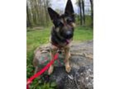 Adopt Bodhi a German Shepherd Dog