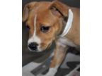 Adopt Bea a Brown/Chocolate American Pit Bull Terrier / Mixed dog in
