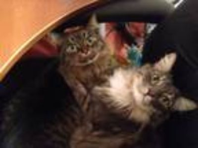 Adopt Fiona and Bob a Brown or Chocolate (Mostly) American Shorthair / Mixed cat