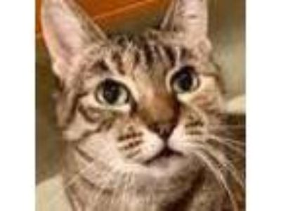Adopt Jenny Starr a Domestic Shorthair / Mixed (short coat) cat in New York