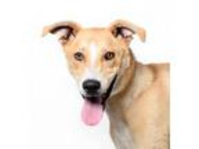 Adopt Buster a Tan/Yellow/Fawn Labrador Retriever / Mixed dog in Los Angeles