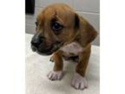 Adopt RAMSEY a Hound, Mixed Breed