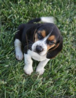 Optimistic Beagle Puppies Available Now