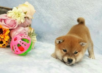 Shiba Inu Puppies Classifieds Clazorg