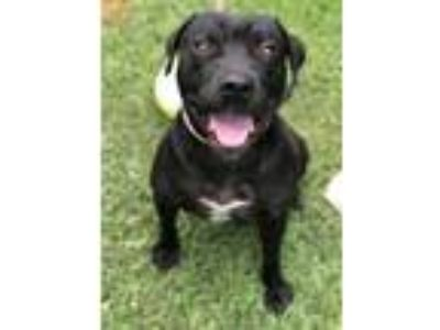 Adopt Liam a Black American Pit Bull Terrier / Labrador Retriever / Mixed dog in