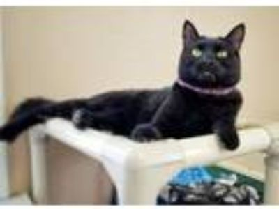 Adopt Sissy a Domestic Short Hair