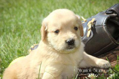 Max: Male Golden Retriever