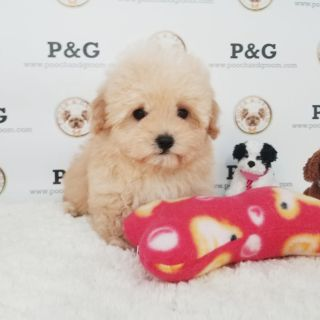 Maltese-Poodle (Toy) Mix PUPPY FOR SALE ADN-104394 - MALTIPOO JOSH MALE