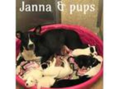 Adopt JANNA a Black - with White American Pit Bull Terrier / Mixed dog in Macon