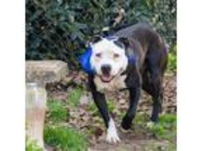Adopt Marsden a Black American Pit Bull Terrier / Mixed dog in Spartanburg
