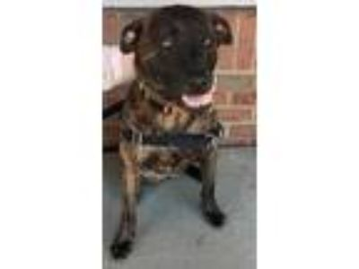 Adopt Pumpernickel a Brindle Plott Hound / Mixed dog in Columbia, MD (24775070)