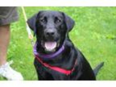 Adopt Charlie a Black Labrador Retriever / Mixed dog in Pittsfield