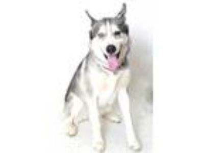 Adopt SAKURA a Gray/Silver/Salt & Pepper - with White Husky / Mixed dog in Fruit