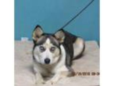 Adopt Dipsy a Gray/Silver/Salt & Pepper - with Black Husky dog in Oshkosh