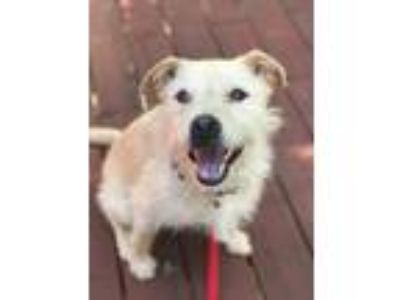 Adopt Stewie a Tan/Yellow/Fawn Wheaten Terrier / Labrador Retriever / Mixed dog