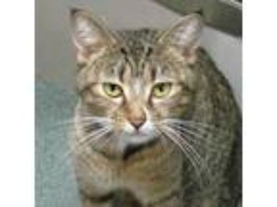 Adopt Missy a Domestic Short Hair, Extra-Toes Cat / Hemingway Polydactyl