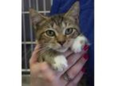 Adopt Alcide a Domestic Short Hair