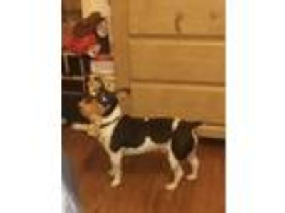 Adopt Devo a Black - with White Rat Terrier / Mixed dog in Normal, IL (24116276)
