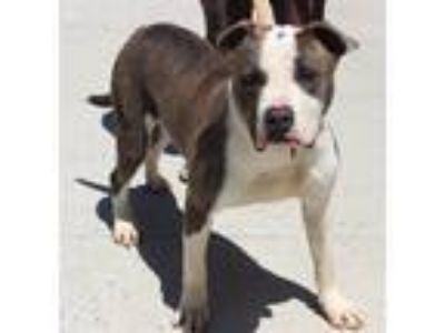 Adopt Boss a Pit Bull Terrier / Mixed dog in Salisbury, MD (25290903)