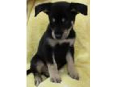 Adopt Naython 30509 a Black - with Tan, Yellow or Fawn Shepherd (Unknown Type) /