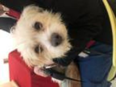 Adopt Max a White Shih Tzu / Cairn Terrier / Mixed dog in Denton, TX (25596410)