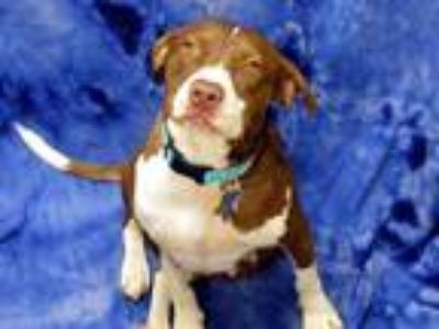 Adopt Louise a Pit Bull Terrier, English Springer Spaniel