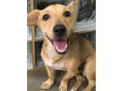 Adopt Leland a Brown/Chocolate Terrier (Unknown Type, Small) / Mixed dog in