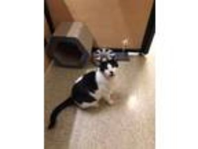 Adopt Johnny a Domestic Short Hair