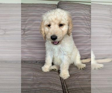 Goldendoodle PUPPY FOR SALE ADN-126872 - F1 Goldendoodle puppies