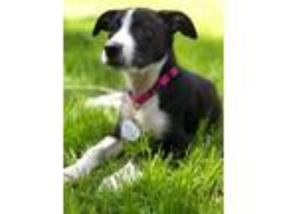 Adopt Daisy a Border Collie dog in Bowmansville, NY (25820677)
