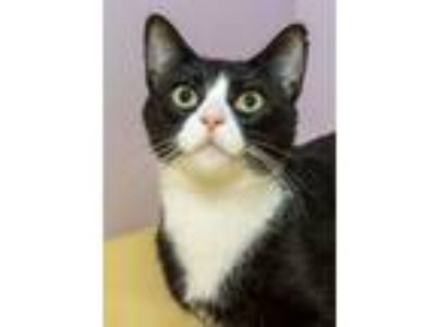 Adopt Jennyanydots a Domestic Short Hair