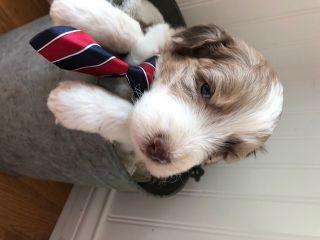 Aussiedoodle PUPPY FOR SALE ADN-79106 - Aussiedoodles