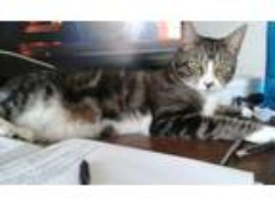 Adopt Asha a Domestic Short Hair