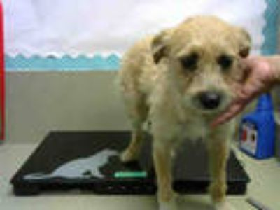 Adopt a Tan/Yellow/Fawn Terrier (Unknown Type, Medium) / Mixed dog in Moreno
