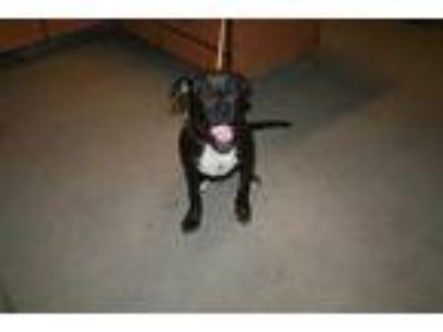 Adopt RAIDER a Black - with White American Staffordshire Terrier / Mixed dog in