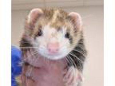 Adopt Slinky a Ferret small animal in Houston, TX (25868846)