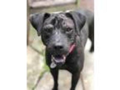 Adopt Fidget a Black Labrador Retriever / Mixed dog in Spring, TX (21579474)
