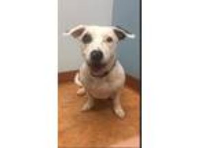 Adopt Miss Chloe a Dachshund / Staffordshire Bull Terrier / Mixed dog in Weston