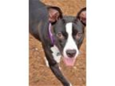Adopt Mags a Pointer, Boston Terrier