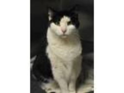 Adopt Skip a White Colorpoint Shorthair / Domestic Shorthair / Mixed cat in