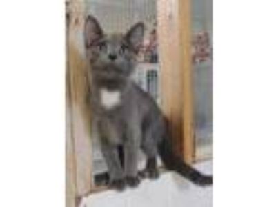 Adopt Maddox a Gray or Blue Domestic Shorthair / Domestic Shorthair / Mixed cat