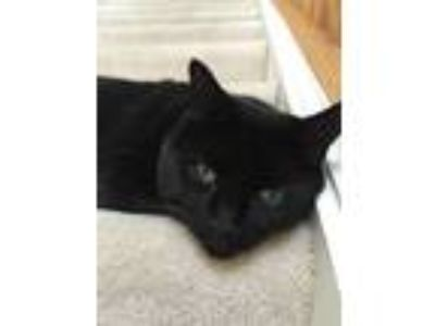 Adopt Mac a All Black Manx / Mixed cat in Bolingbrook, IL (23479893)