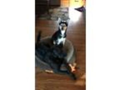 Adopt Lucy a Black - with Tan, Yellow or Fawn Husky / German Shepherd Dog /