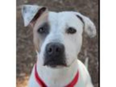 Adopt Lillian a White - with Tan, Yellow or Fawn Pit Bull Terrier / Mixed dog in