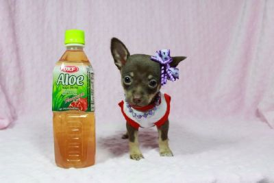 Gorgeous Tiny Teacup Chihuahua!