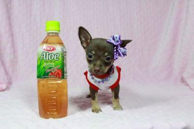 Gorgeous Tiny Teacup Chihuahua!