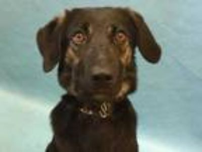 Adopt Classen a Black Shepherd (Unknown Type) / Mixed dog in Coon Rapids