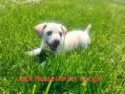 Adopt Lily a Jack Russell Terrier, Rat Terrier